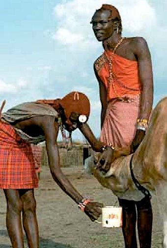 bad blood? Masai herdsmen enjoy a morning cup of plasma
